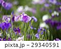 花菖蒲 花 植物の写真 29340591