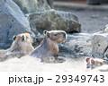 カピバラ 温泉 動物の写真 29349743