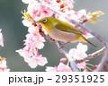河津桜とメジロ 29351925