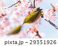 河津桜とメジロ 29351926
