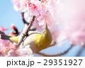 河津桜とメジロ 29351927