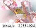 河津桜とメジロ 29351928