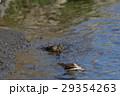 ジョウビタキ嬢の水浴び 多摩川河川敷 ラッコ風 29354263