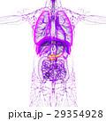 解剖学 器官 膵臓のイラスト 29354928