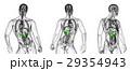 解剖学 メディカル 膵臓のイラスト 29354943