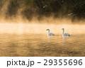 白鳥 朝霧 川の写真 29355696