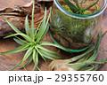 エアプランツ 観葉植物 チランジアの写真 29355760