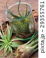 エアプランツ 観葉植物 チランジアの写真 29355761