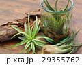エアプランツ 観葉植物 チランジアの写真 29355762