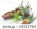 エアプランツ 観葉植物 チランジアの写真 29355764