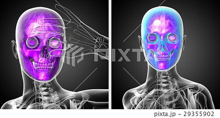 3d rendering  medical illustration of the skull 29355902