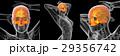 解剖学 骨 かぶりのイラスト 29356742