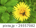 Dandelion flower with hoverfly 29357082