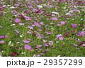 コスモス 秋桜 大春車菊の写真 29357299