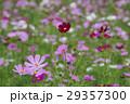 コスモス 秋桜 大春車菊の写真 29357300