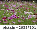 コスモス 秋桜 大春車菊の写真 29357301