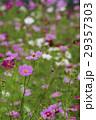 コスモス 秋桜 大春車菊の写真 29357303