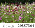 コスモス 秋桜 大春車菊の写真 29357304