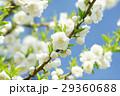 桃の花 桃 咲くの写真 29360688