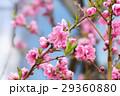 桃の花 桃 咲くの写真 29360880