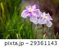 花菖蒲 菖蒲 花の写真 29361143