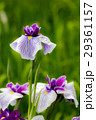 花菖蒲 菖蒲 花の写真 29361157