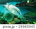 水族館の生き物(ナポレオン) 29363045