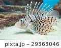水族館の生き物(カサゴ) 29363046