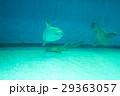 水族館の生き物(マンボウ) 29363057