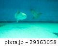 水族館の生き物(マンボウ) 29363058