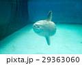 水族館の生き物(マンボウ) 29363060
