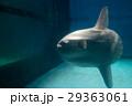 水族館の生き物(マンボウ) 29363061