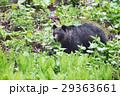 知床の森を歩くヒグマ 29363661