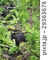 小川を渡ろうとしているヒグマ(知床) 29363676