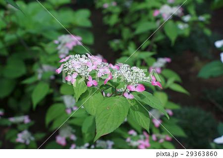 山紫陽花 紅(クレナイ) 花言葉は「乙女の愛」 29363860