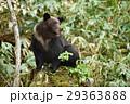 切り株に座る野生のヒグマ(知床) 29363888