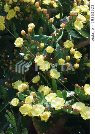 オプンティア 団扇サボテン 花言葉は「暖かい心」 29363923