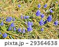 ムスカリ アルメニアカム 花の写真 29364638