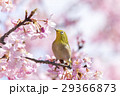 河津桜とメジロ 29366873