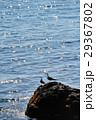二羽のカモメ 29367802
