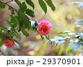 ツバキの花 29370901