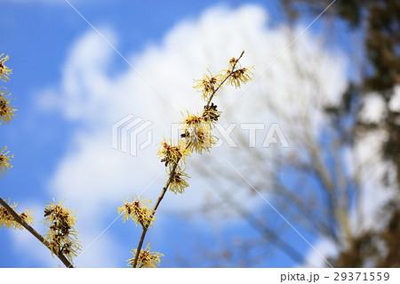 マンサクの花 29371559