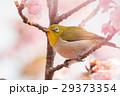 河津桜とメジロ 29373354
