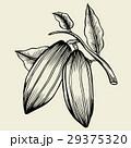 カカオ ベクトル 豆のイラスト 29375320
