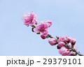 花桃 春 桃の写真 29379101
