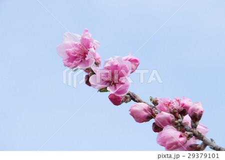 ハナモモ(花桃)春 29379101