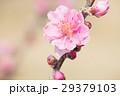 花桃 春 桃の写真 29379103