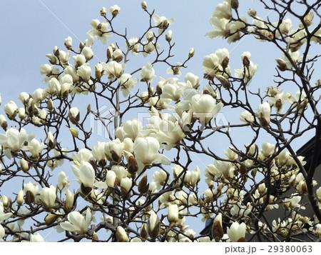ハクモクレンの大きい白い花 29380063