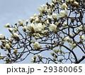 ハクモクレンの大きい白い花 29380065