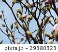 青空に大きい白色の花を咲かすモクレンの蕾 29380323